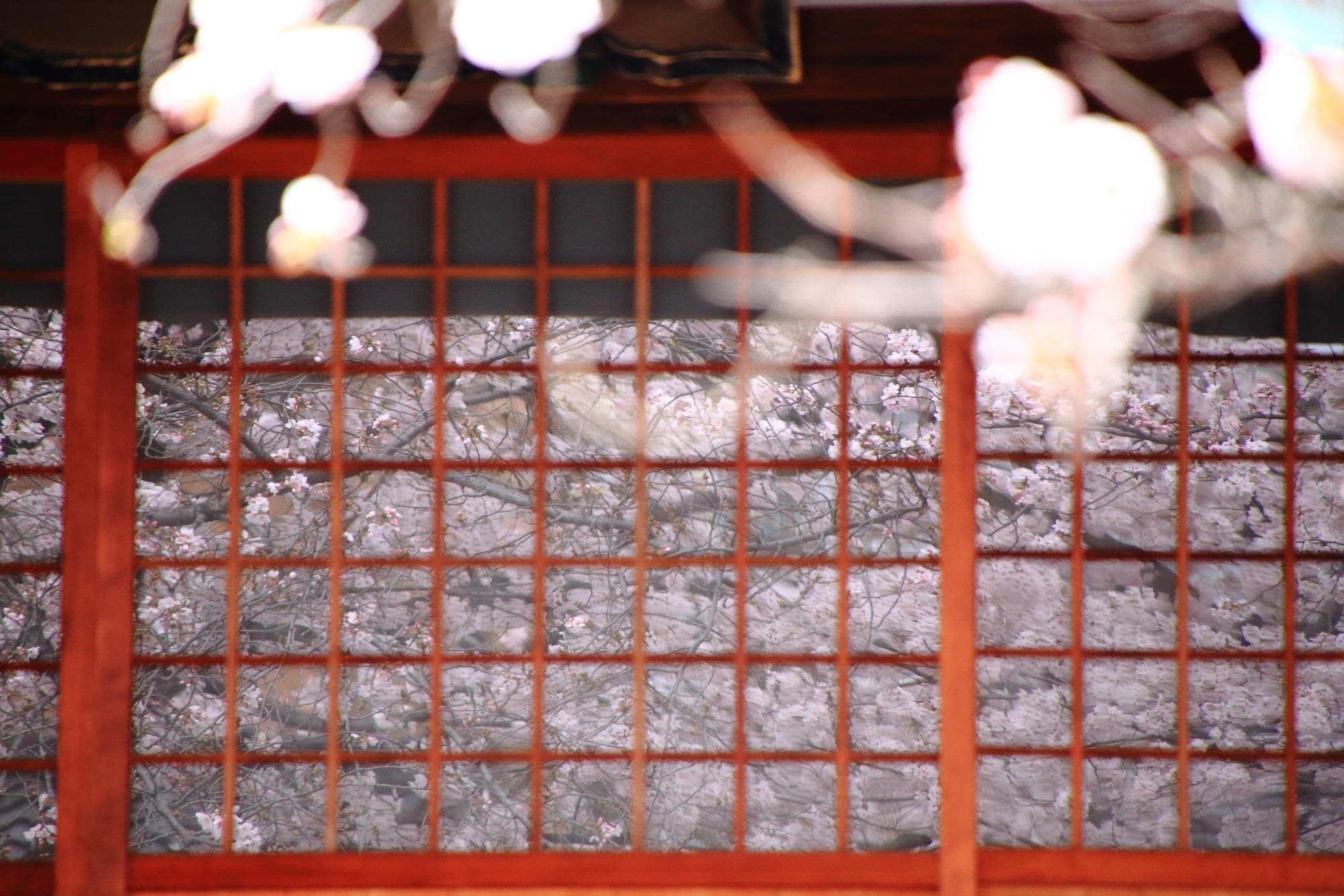 墨染寺の硝子に映る見事な桜