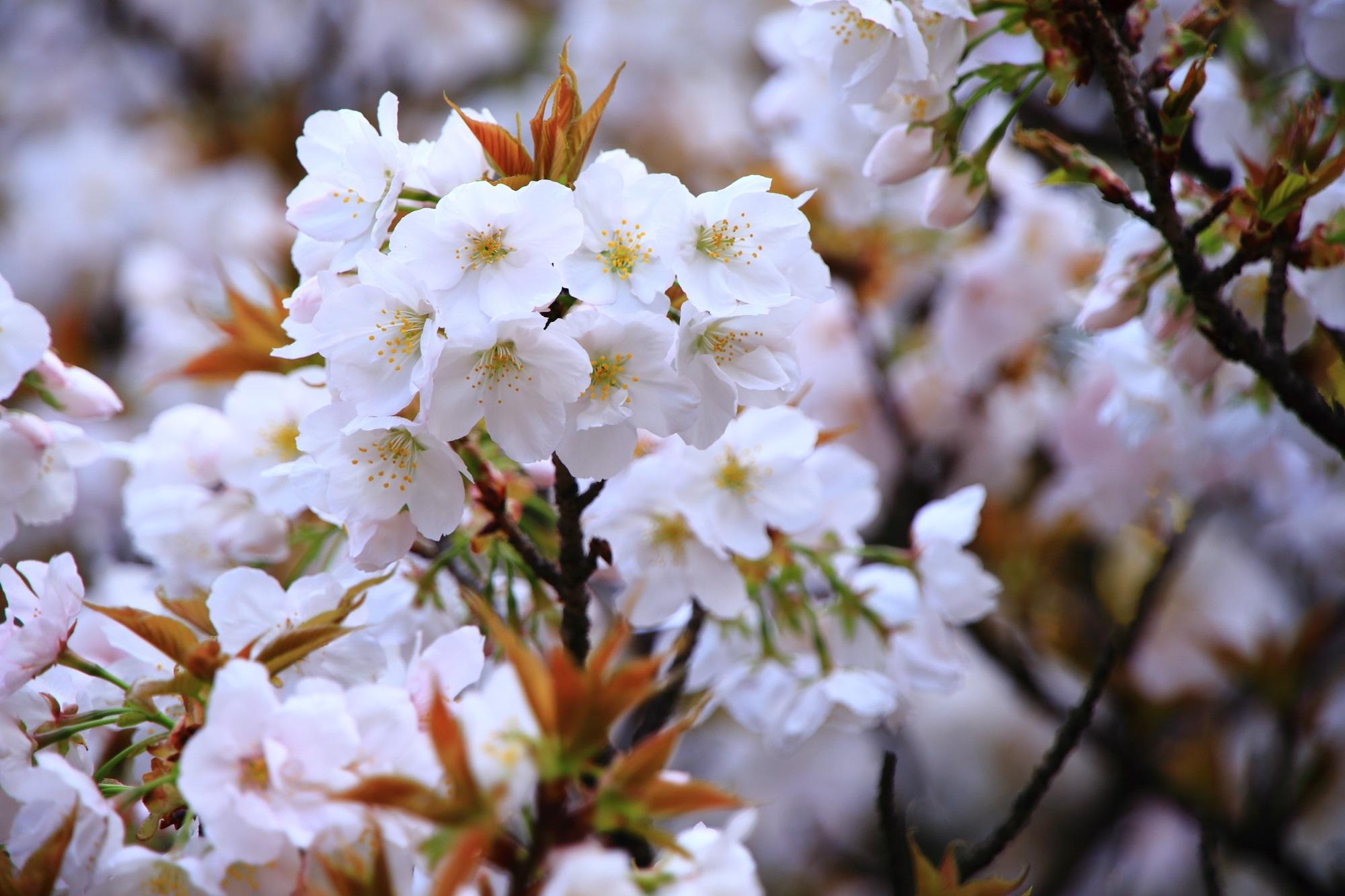 春を彩る華やかな白い花