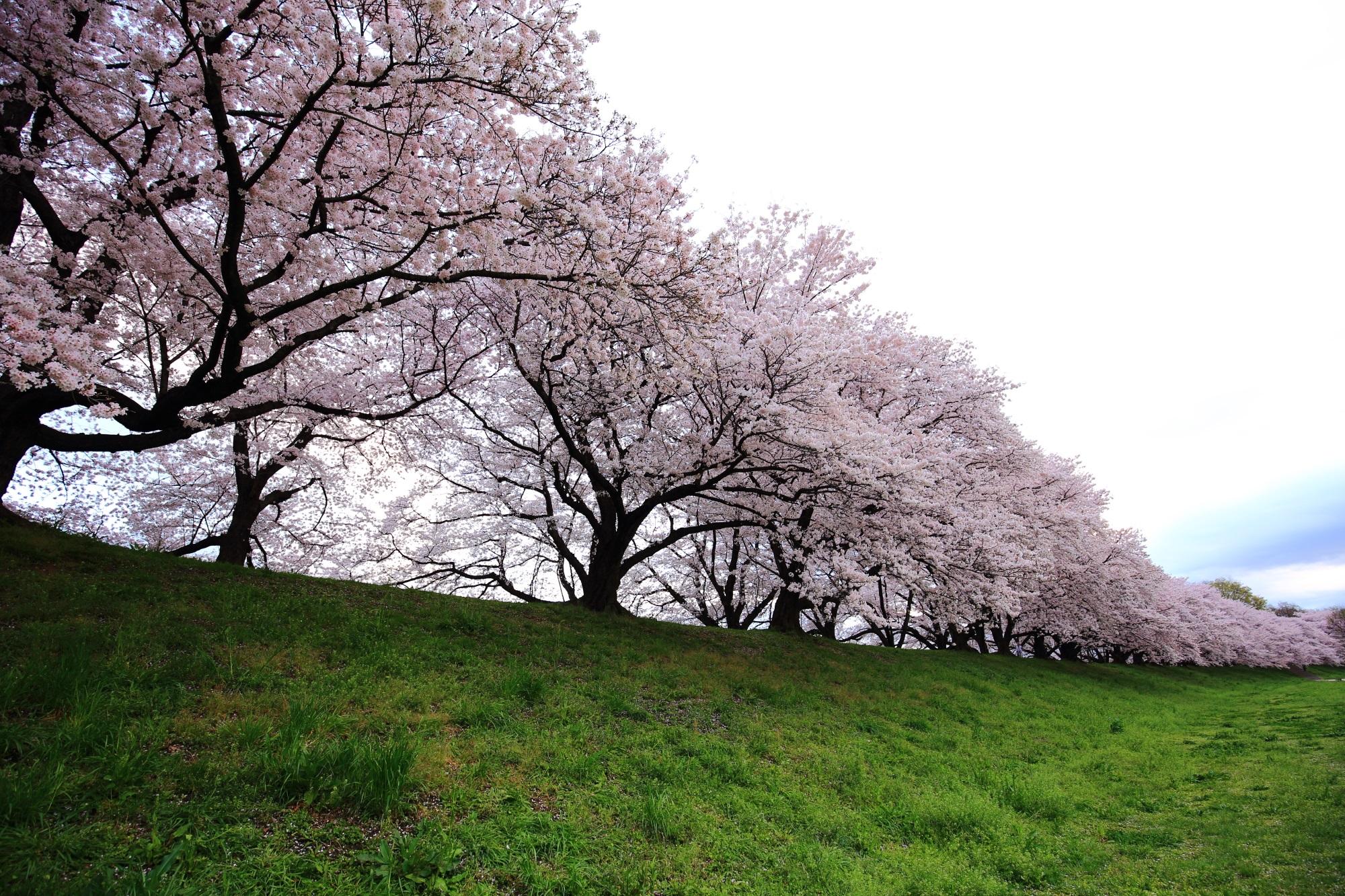 延々と続く豪快な桜並木