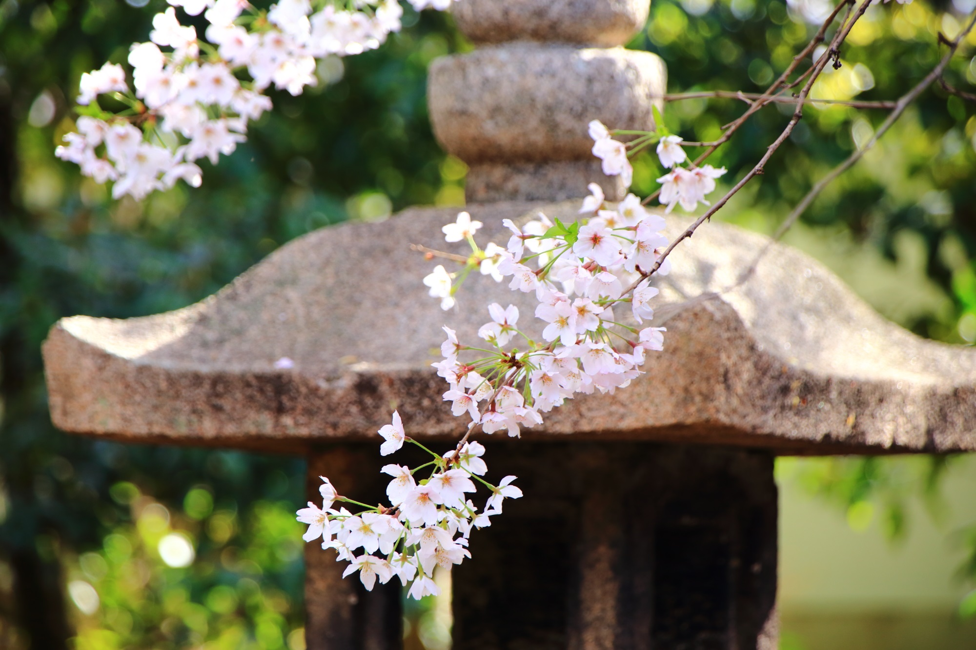 蟷螂を背景にした風情ある桜