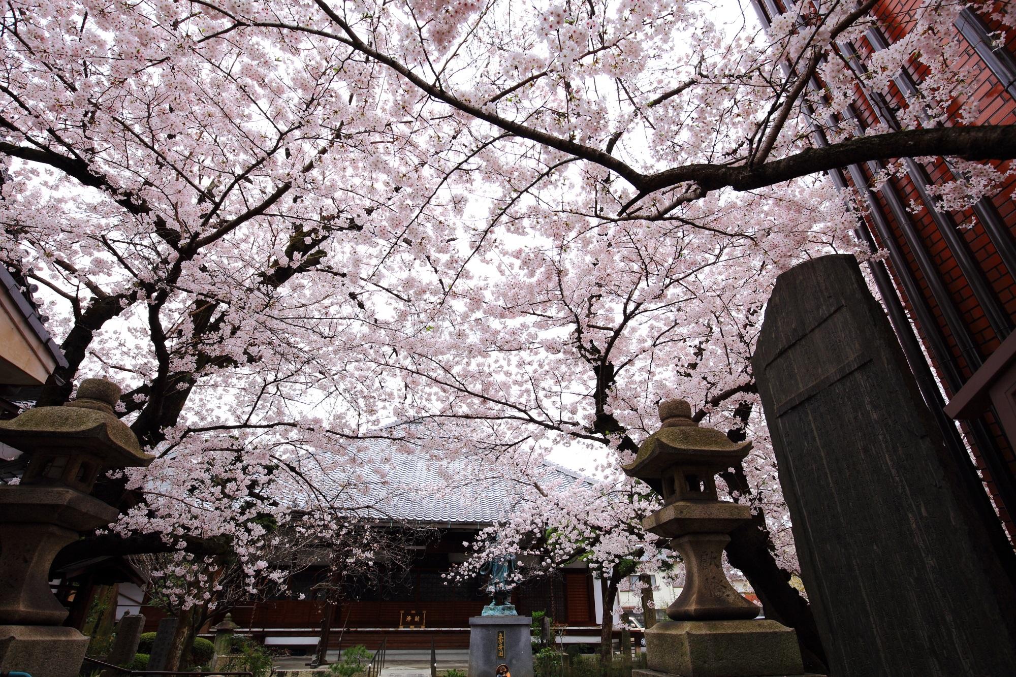 桜の穴場の墨染寺の満開の桜