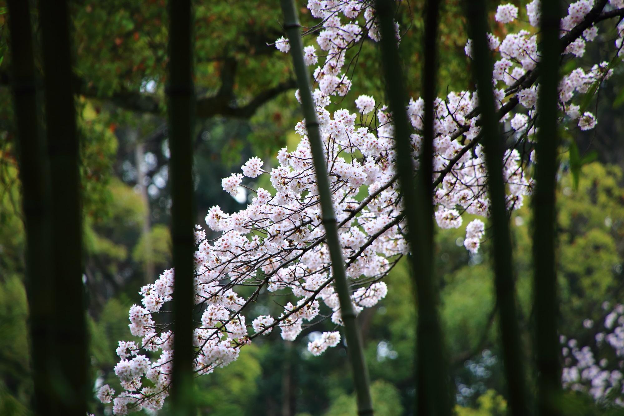 竹の向こうに咲く華やかな桜