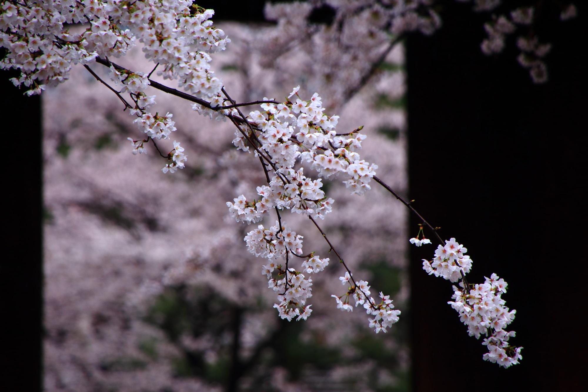 山門を彩る優美な桜
