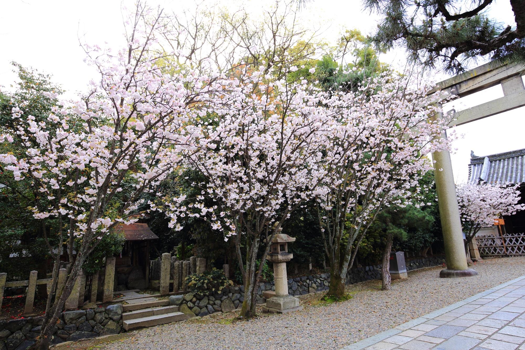 参道沿いの華やかな桜