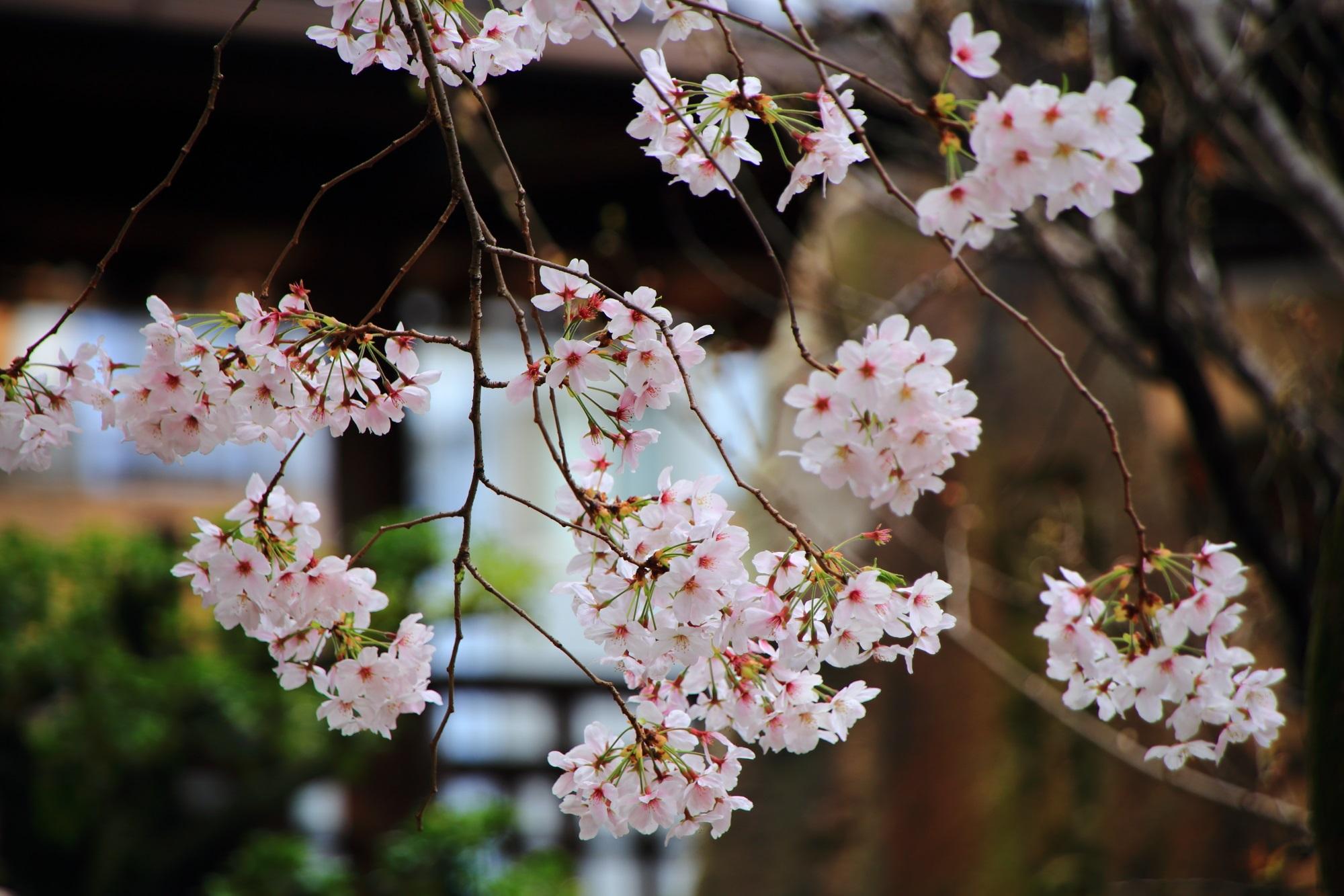 桜の隠れた名所の墨染寺の華やかな桜