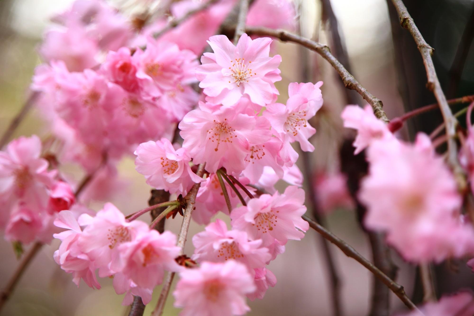 満開をむかえているしだれ桜の花
