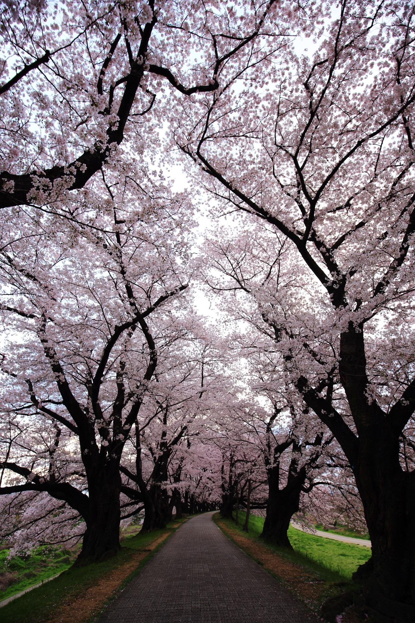 満開の桜につつまれた見事な桜のトンネル