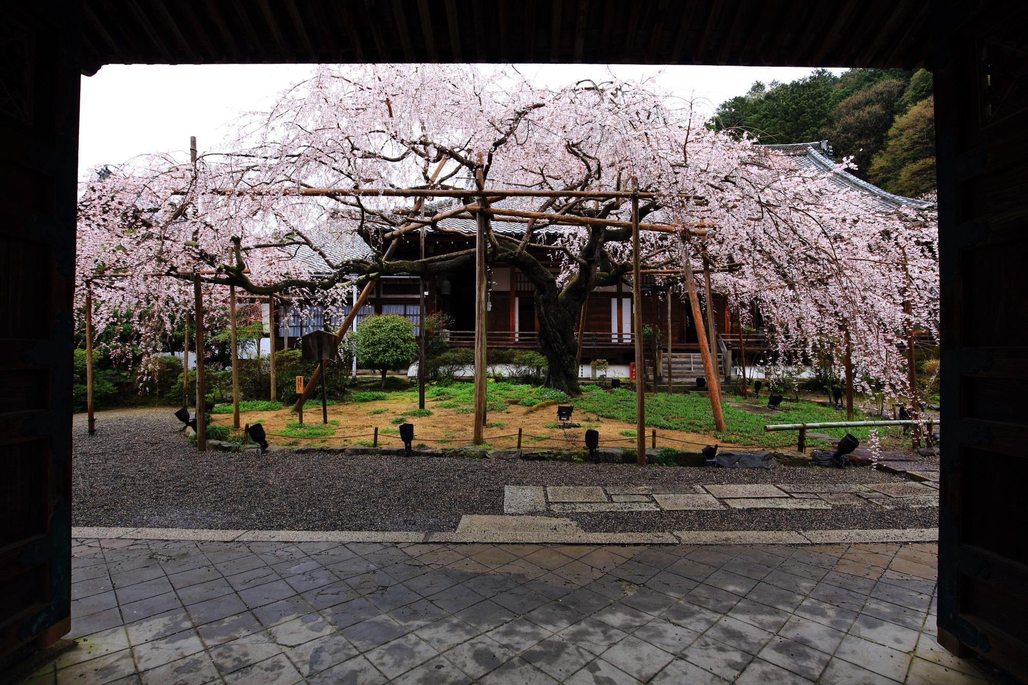 青空で見たかった感が強い毘沙門堂のしだれ桜