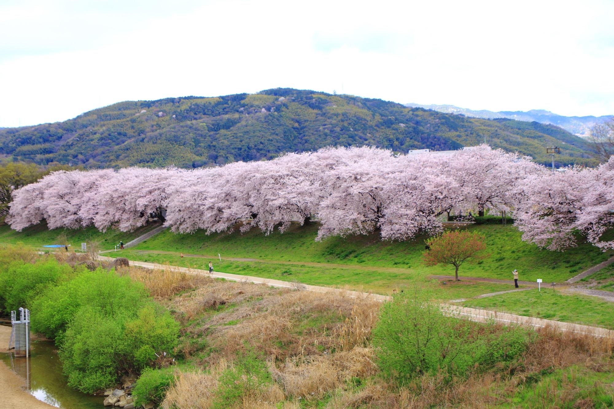 木津川と淀川に挟まれた圧巻の桜並木
