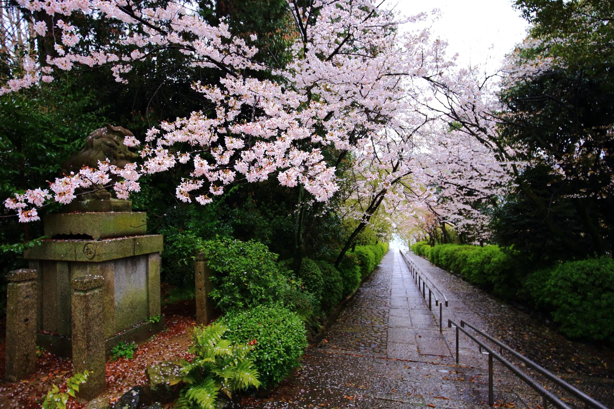 桜の名所の宗忠神社(むねただ神社)の参道の桜