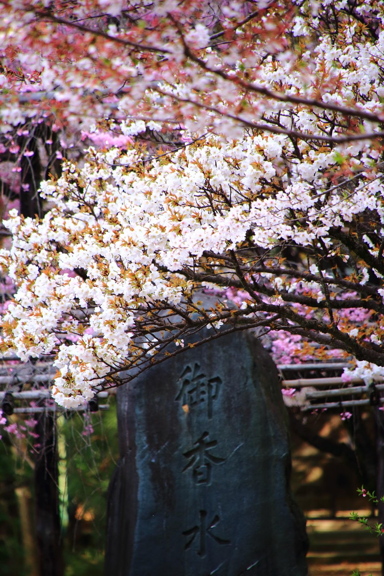 御香水石碑と満開の桜