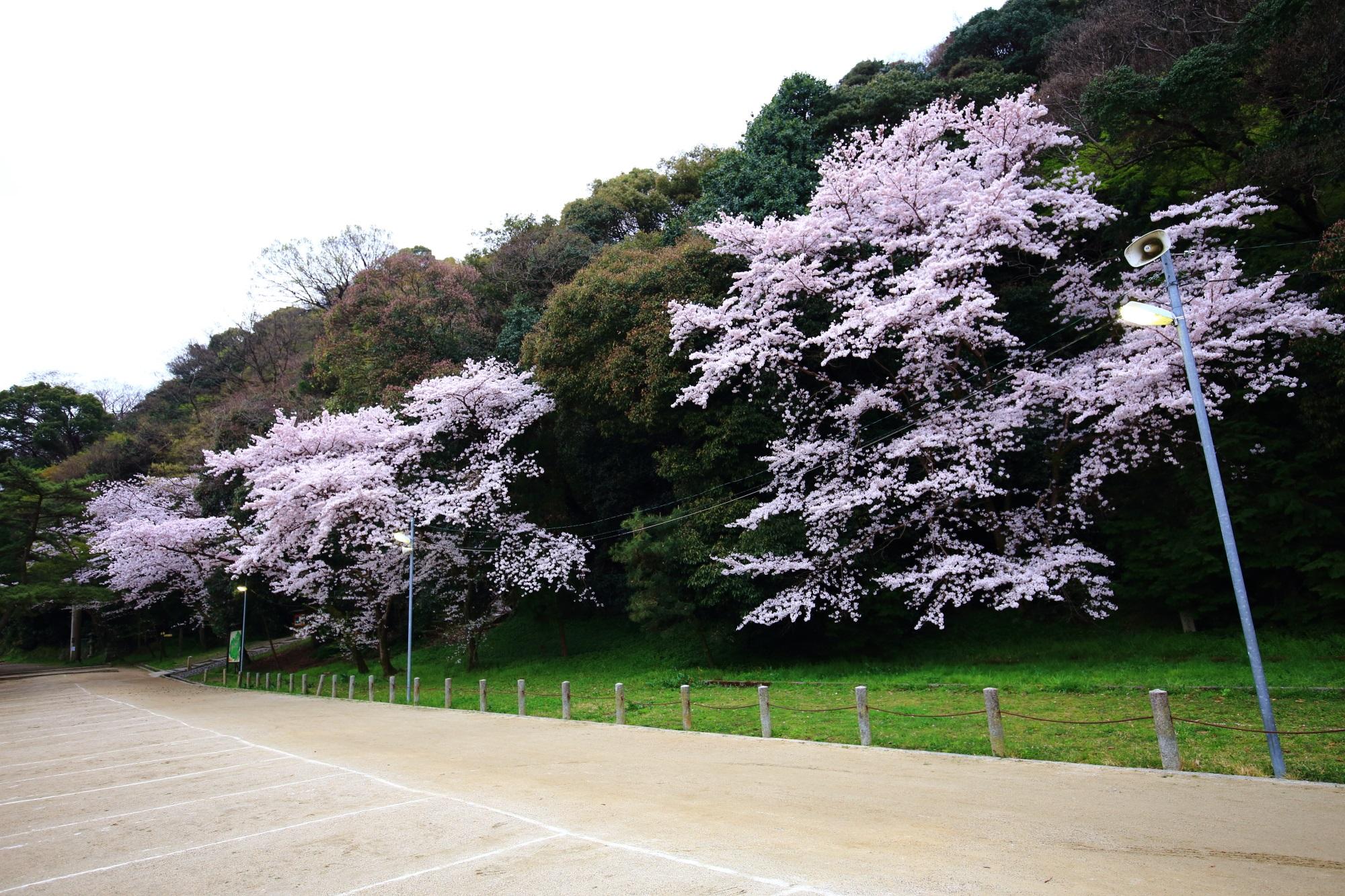 深い緑の中で華やかに咲く参道の桜