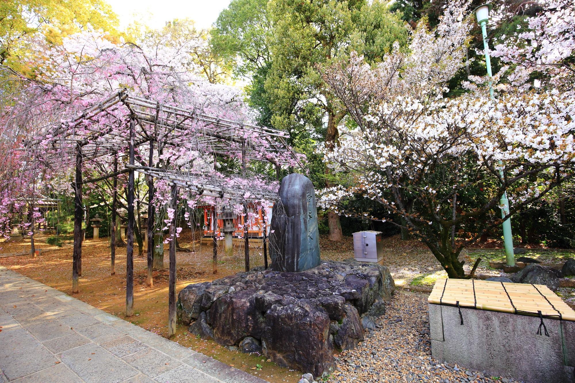 御香水石碑と桜
