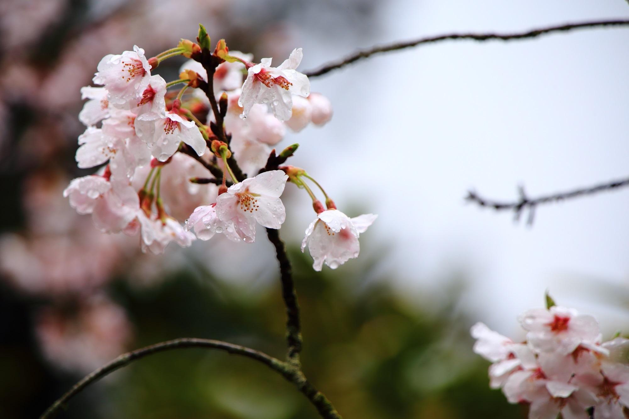 可愛らしい可憐な桜の花