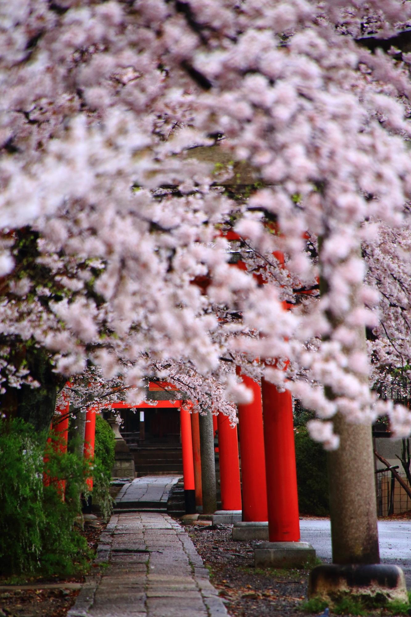 誰もおらず独り占めできる素晴らしい桜の情景
