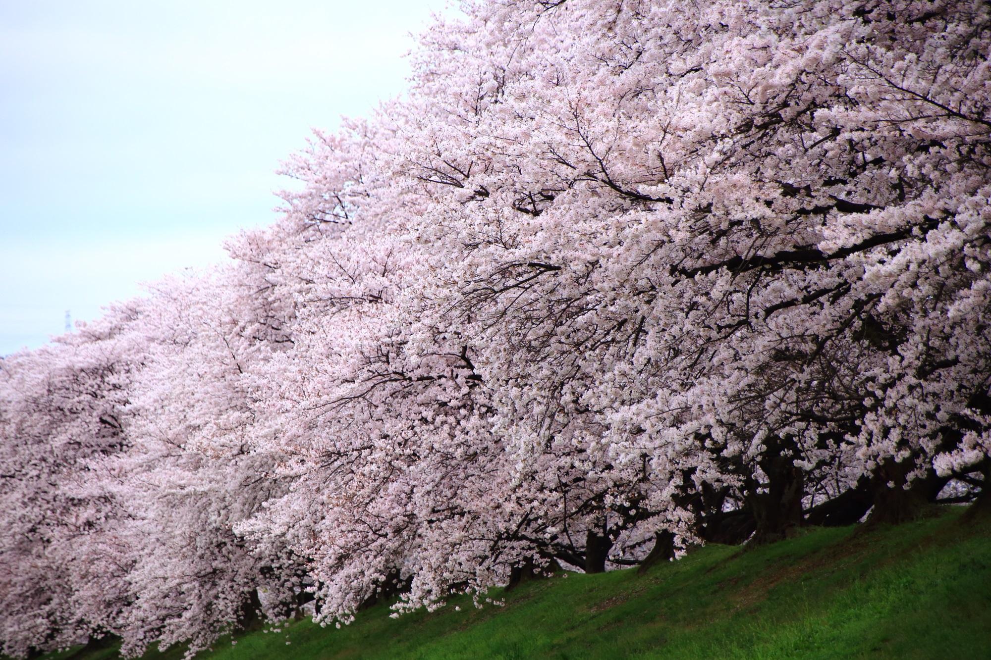溢れ出す迫力の桜