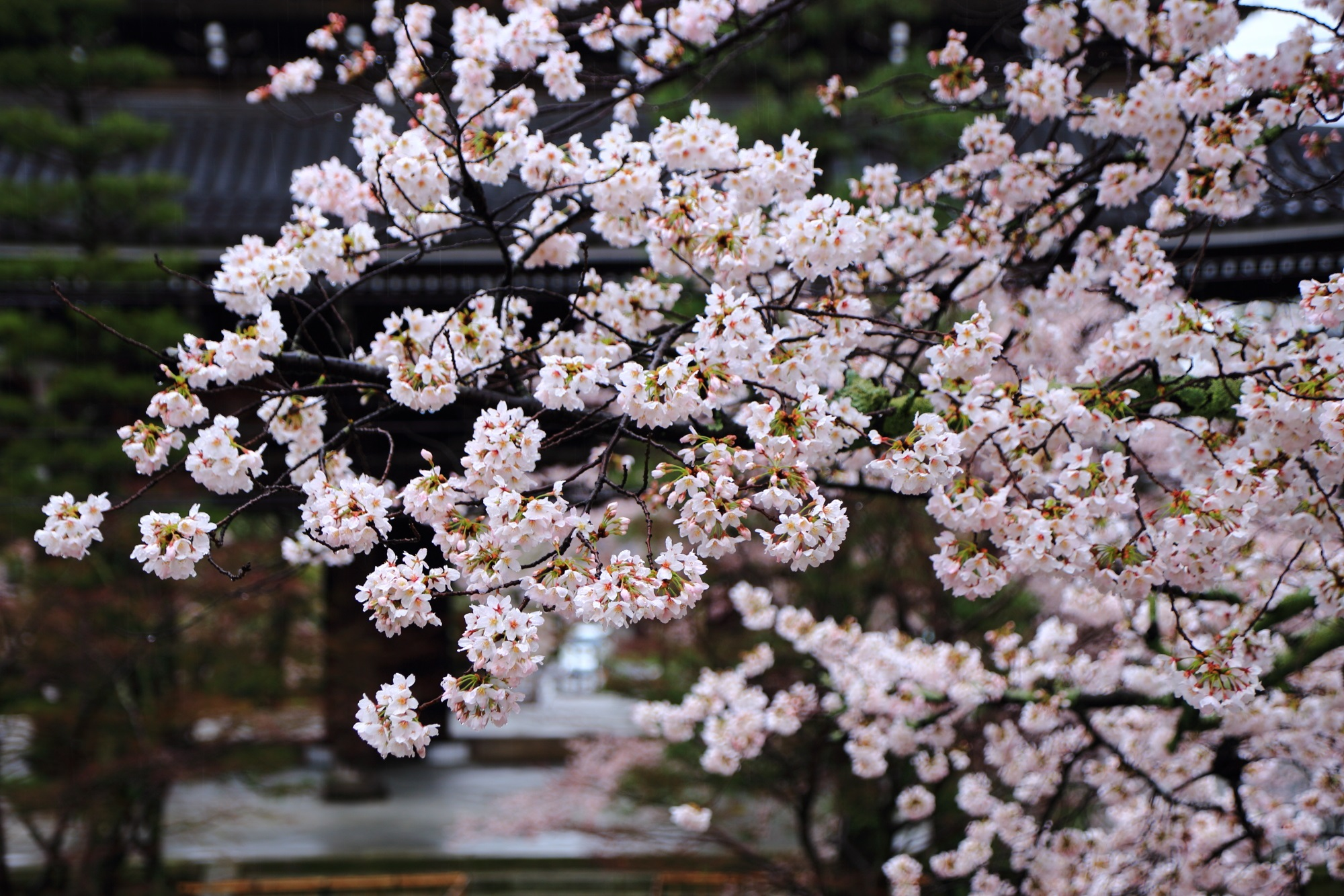 春色につつまれる山門