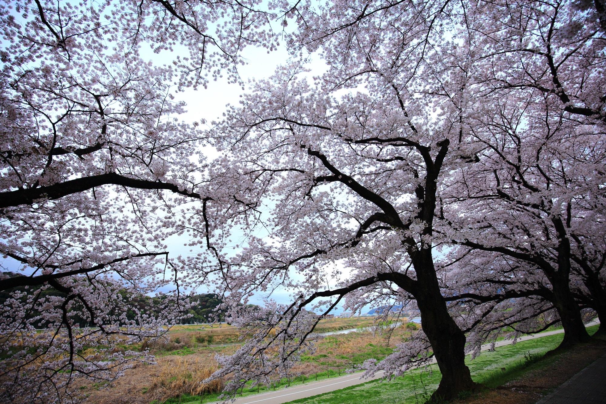 春色につつまれた水辺と背割堤(せわりてい)