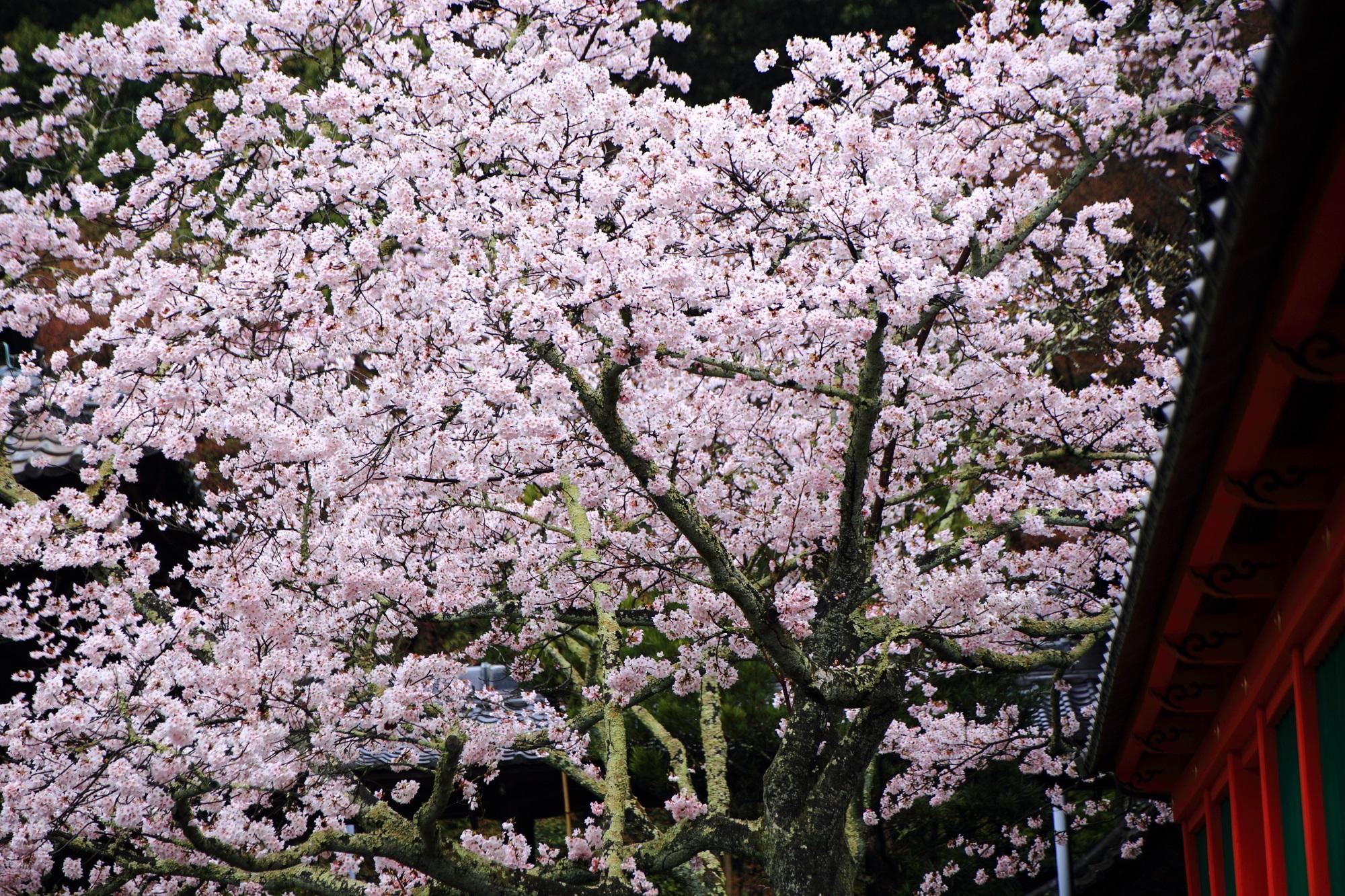 綺麗な花を溢れんばかりにつける桜