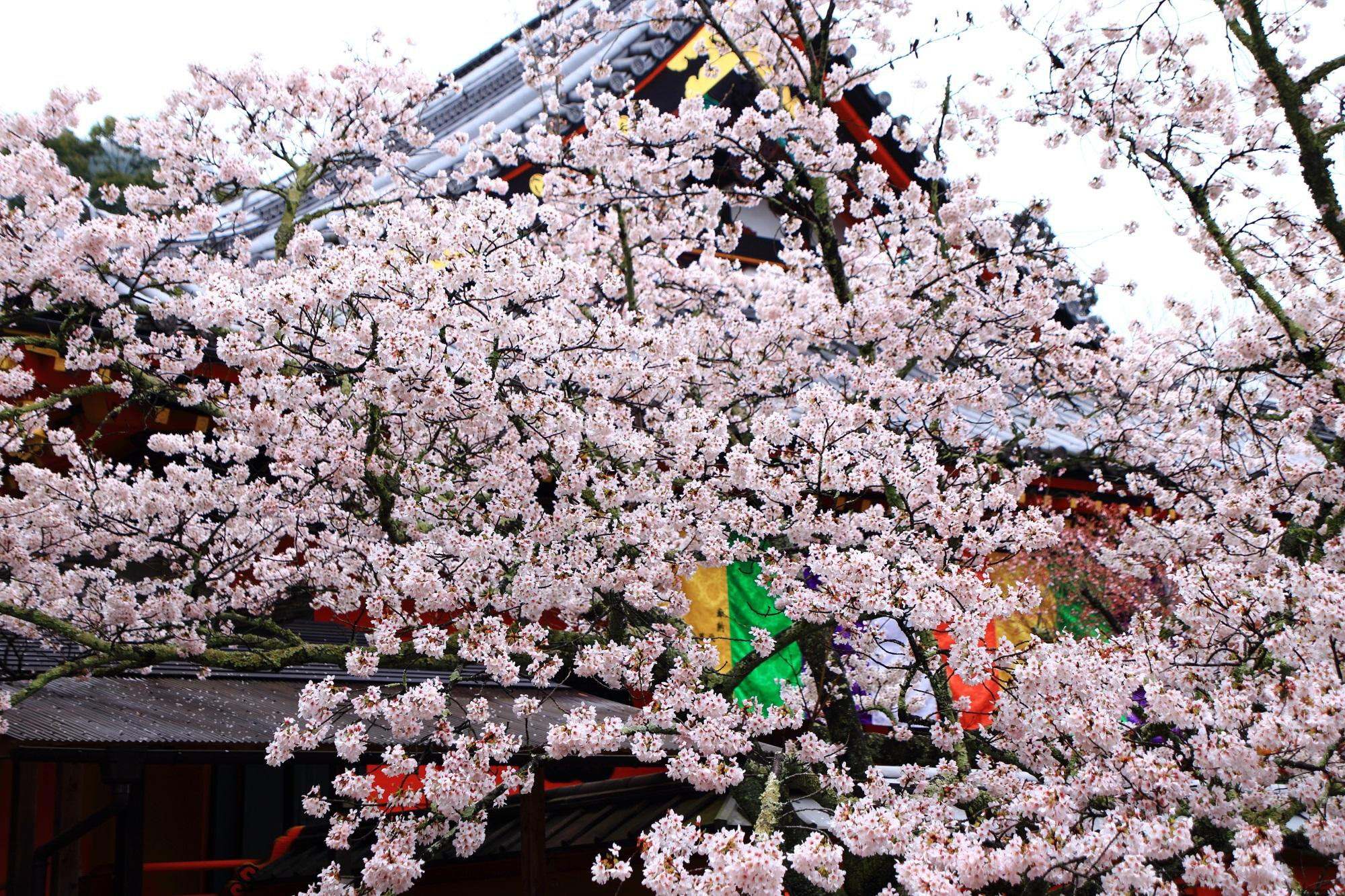 咲き乱れる桜で春色にそまる本堂