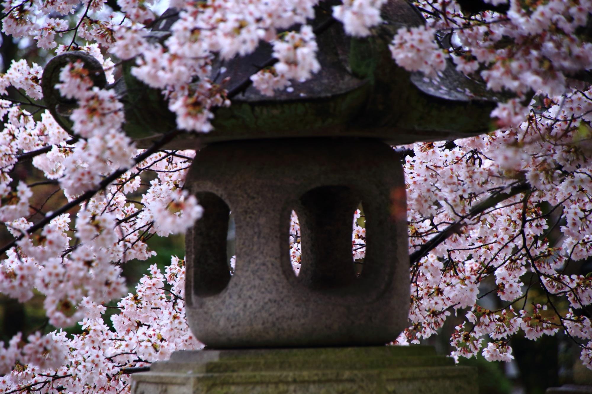 真如堂 桜 灯篭 満開 春