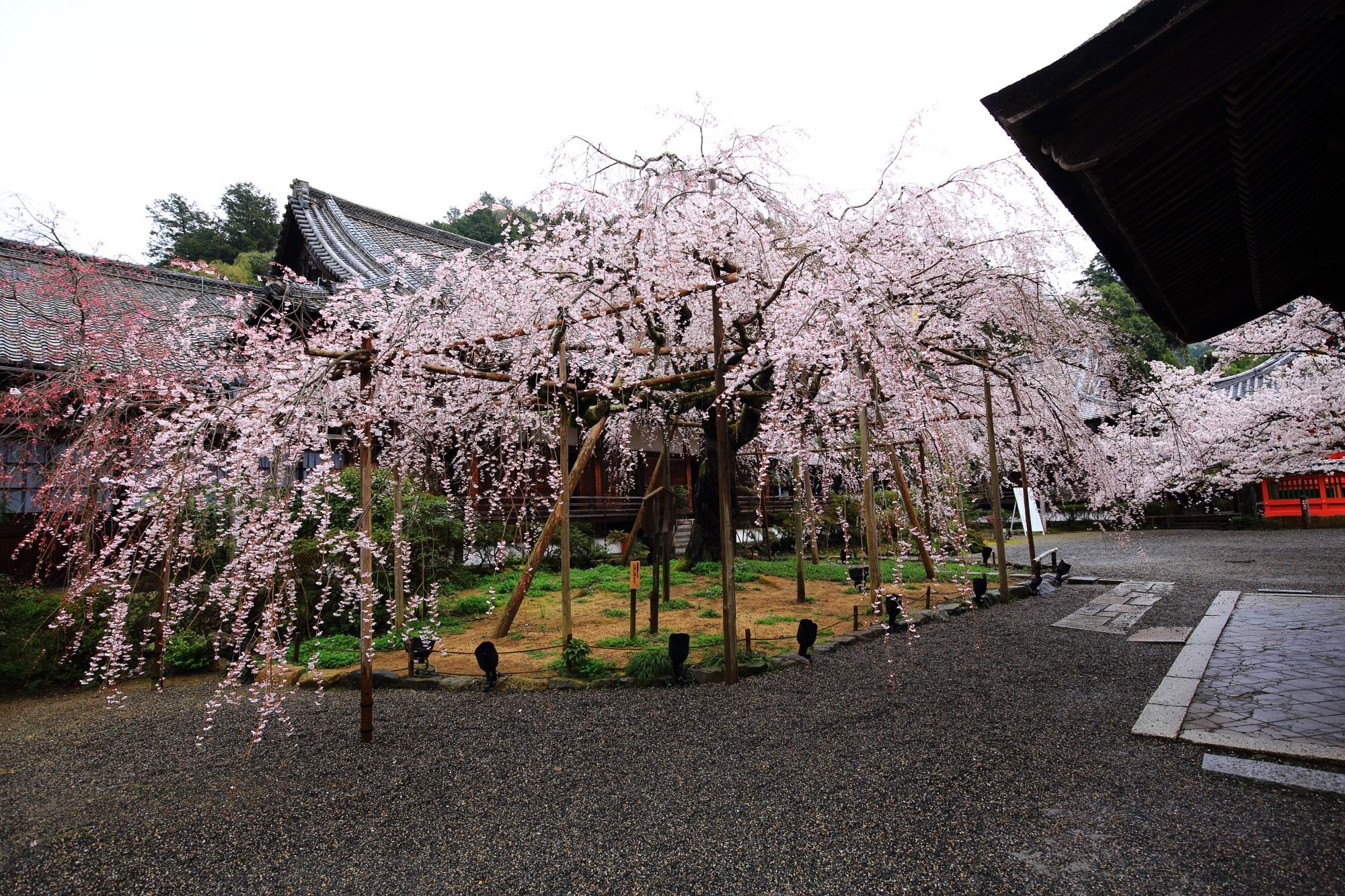 毘沙門堂のメインの大きなしだれ桜