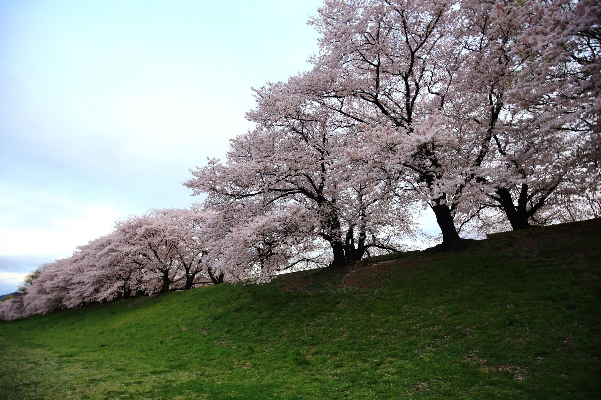 曇天は残念も咲き誇る満開の桜