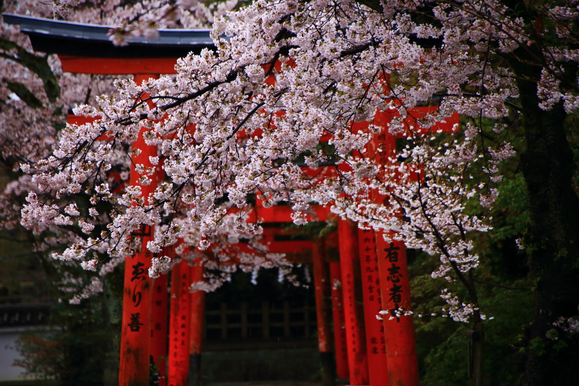 高画質 写真 竹中稲荷神社 桜