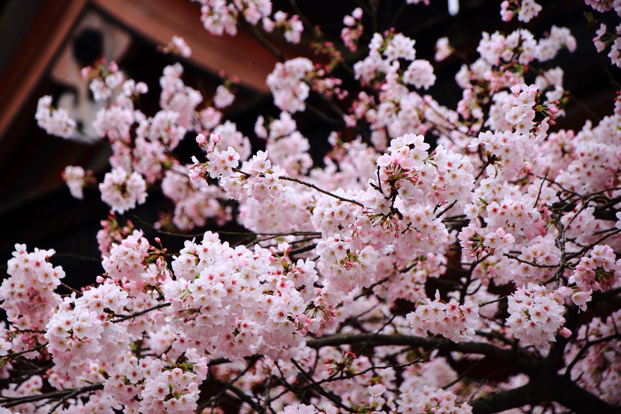 南総門を華やかな春色に彩る桜