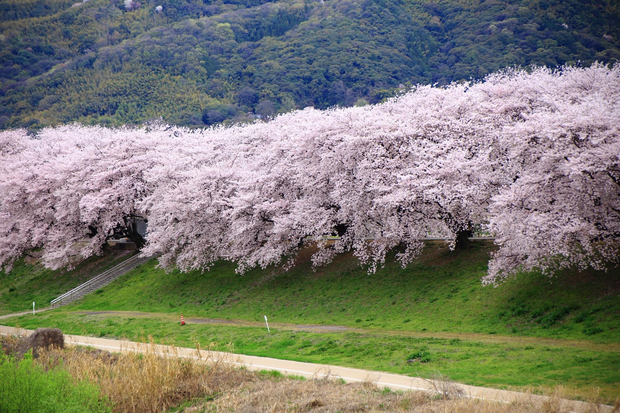 どこから眺めようが凄いものは凄い桜
