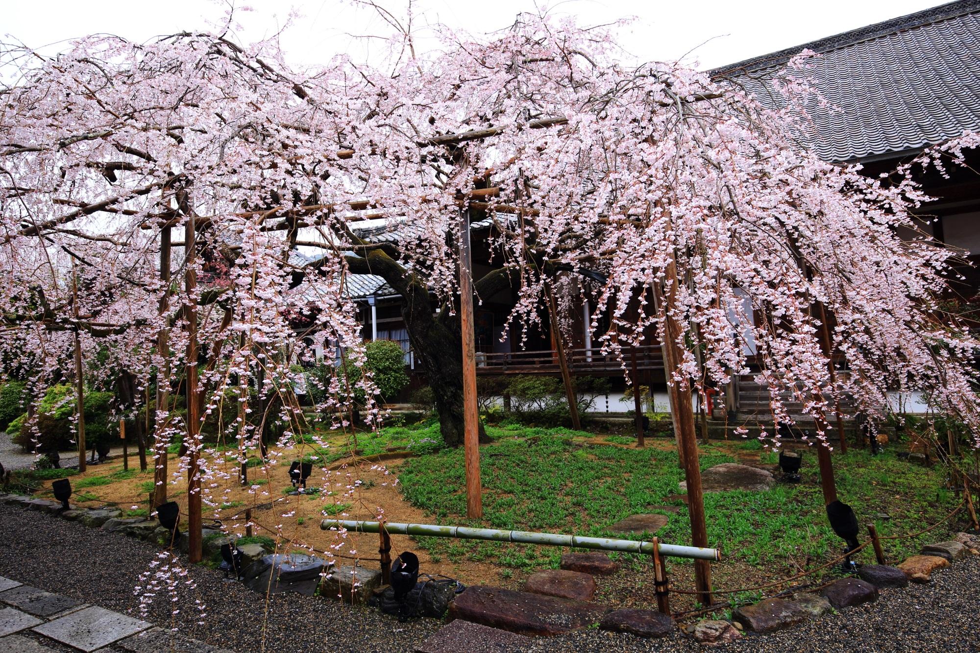 般若桜という名前がついた毘沙門堂のしだれ桜