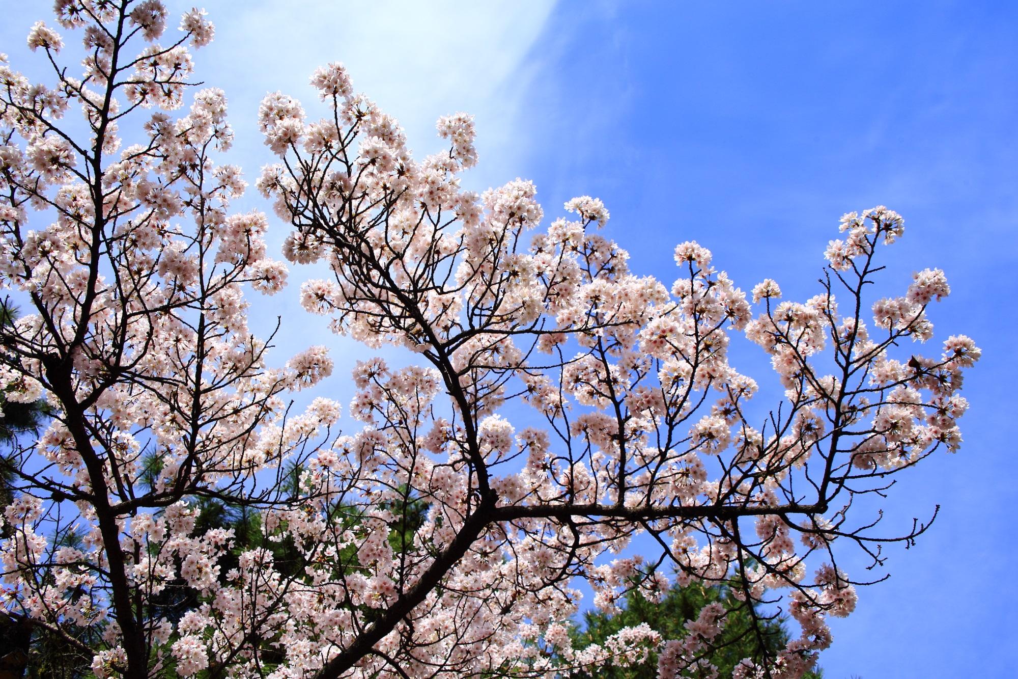 青空が良く合う見上げる桜
