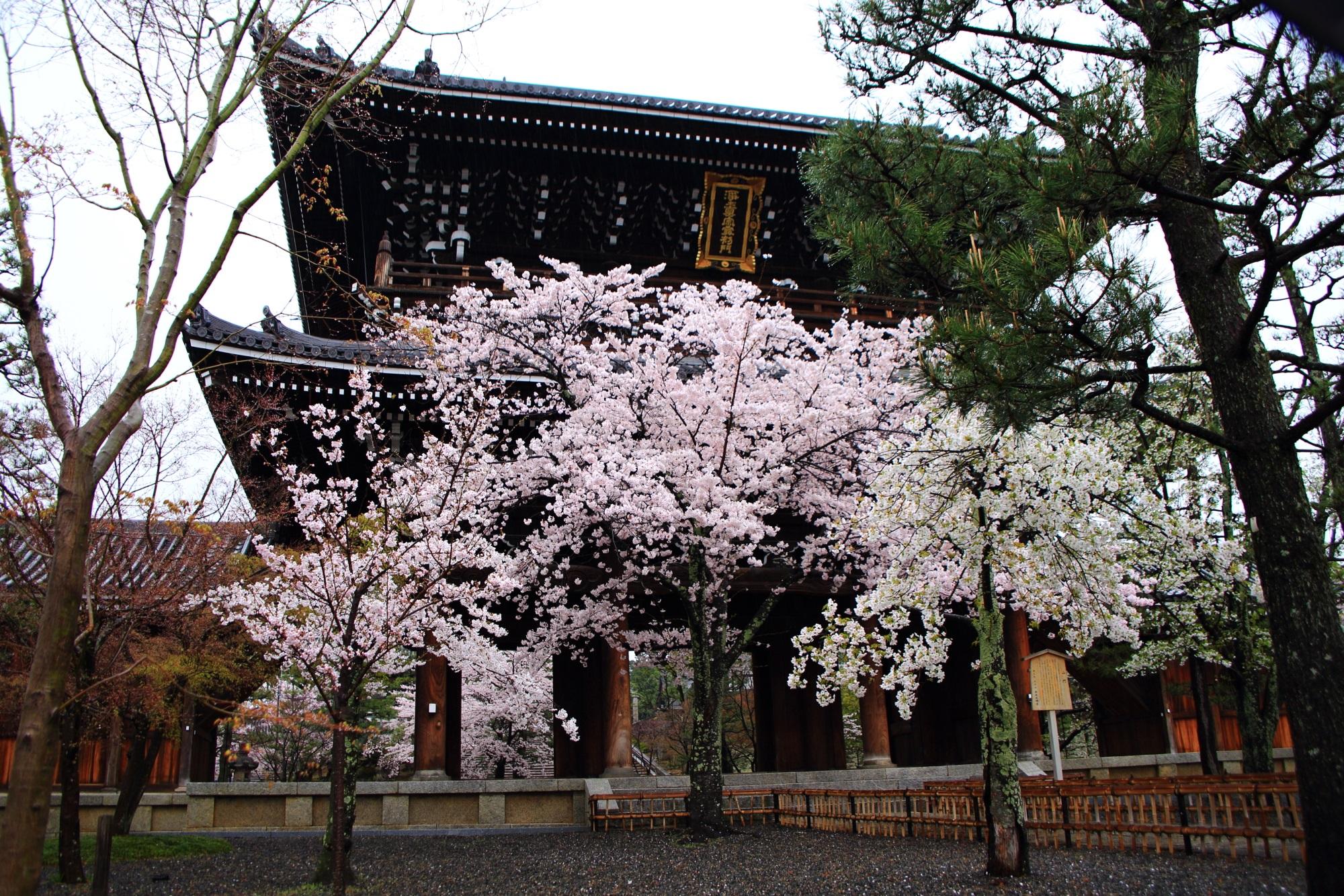 高画質 桜 写真 金戒光明寺 山門