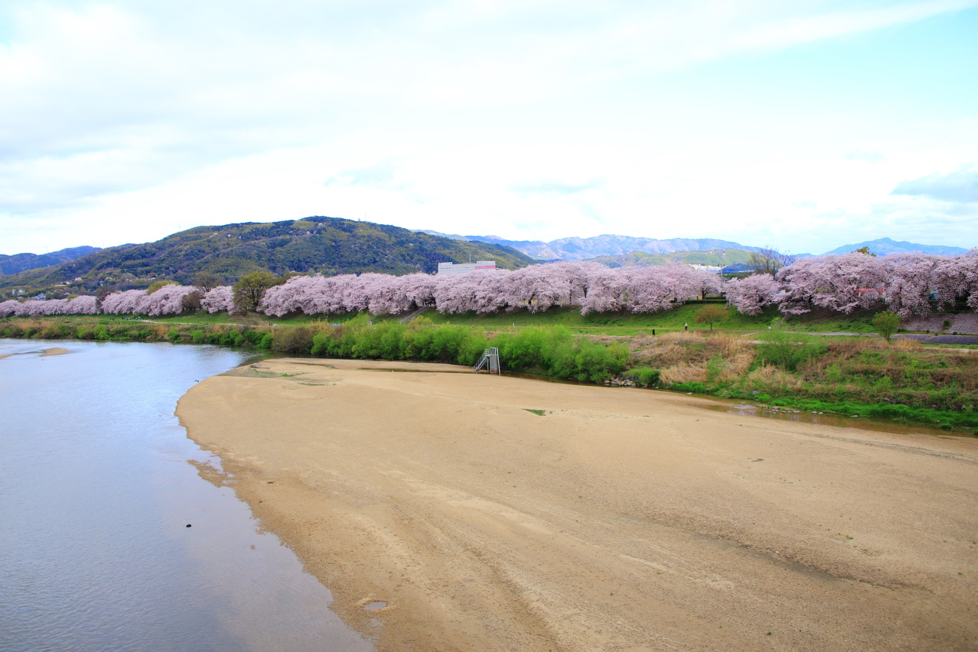 背割堤の素晴らしい桜と春の彩り