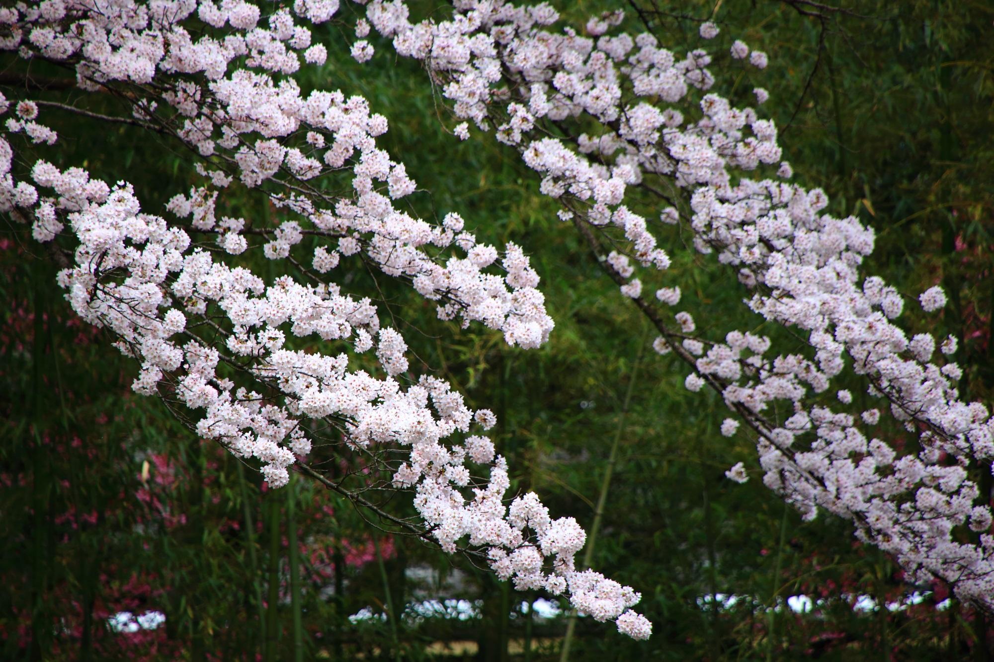 石清水八幡宮の桜と竹