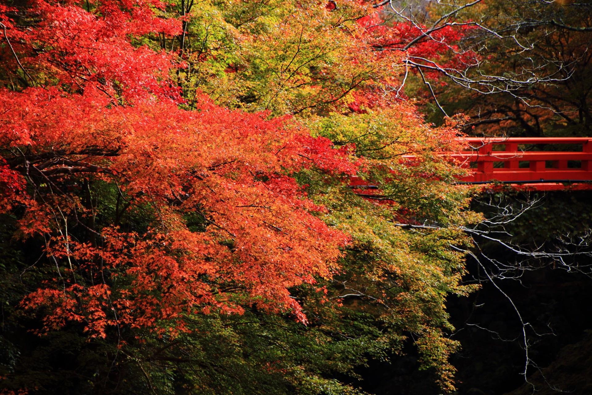 清滝川にかかる指月橋と鮮やかな紅葉