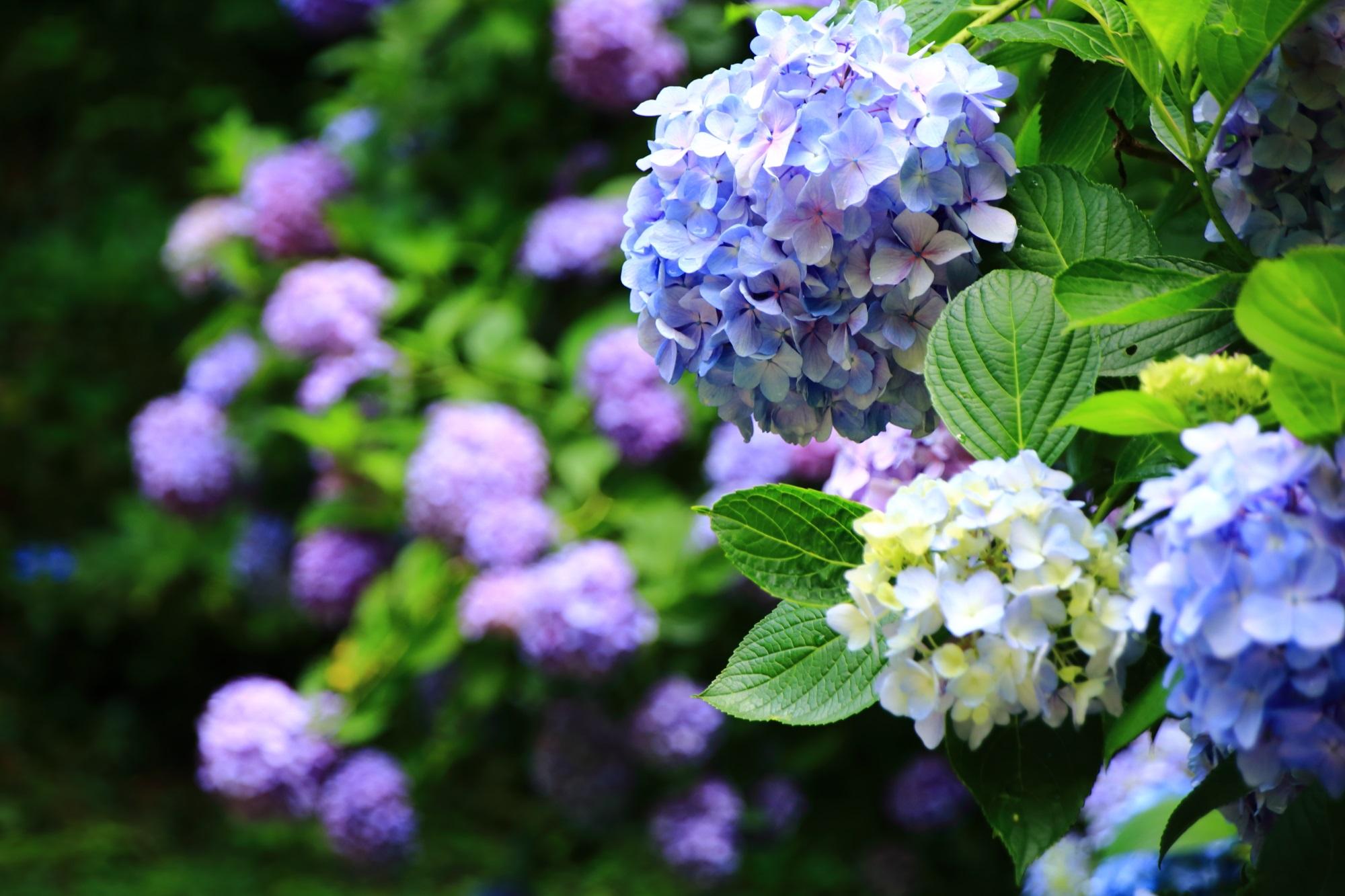 絵になる紫陽花がいっぱいある岩船寺