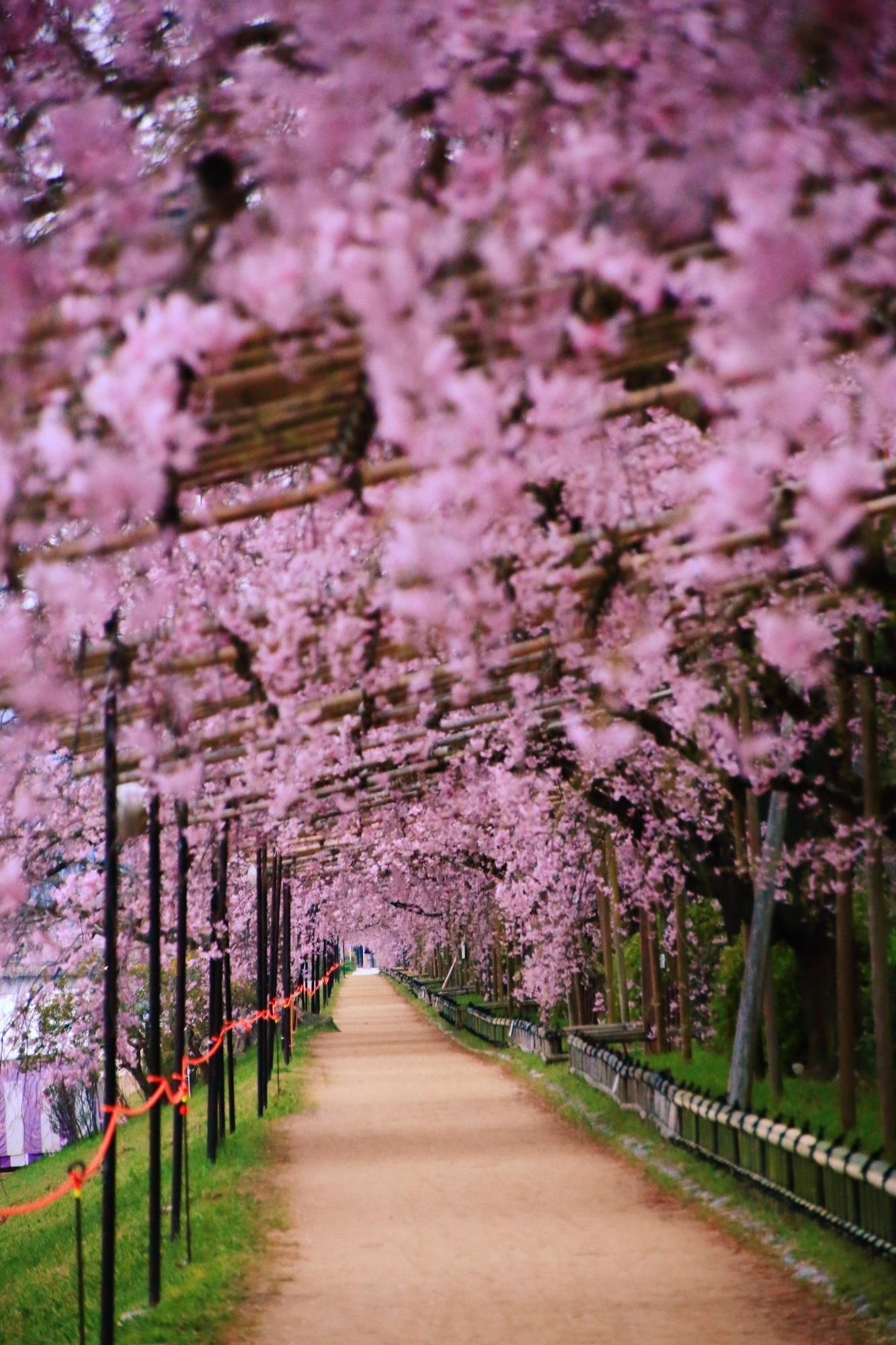 素晴らしい半木の道のしだれ桜のトンネルと春の情景
