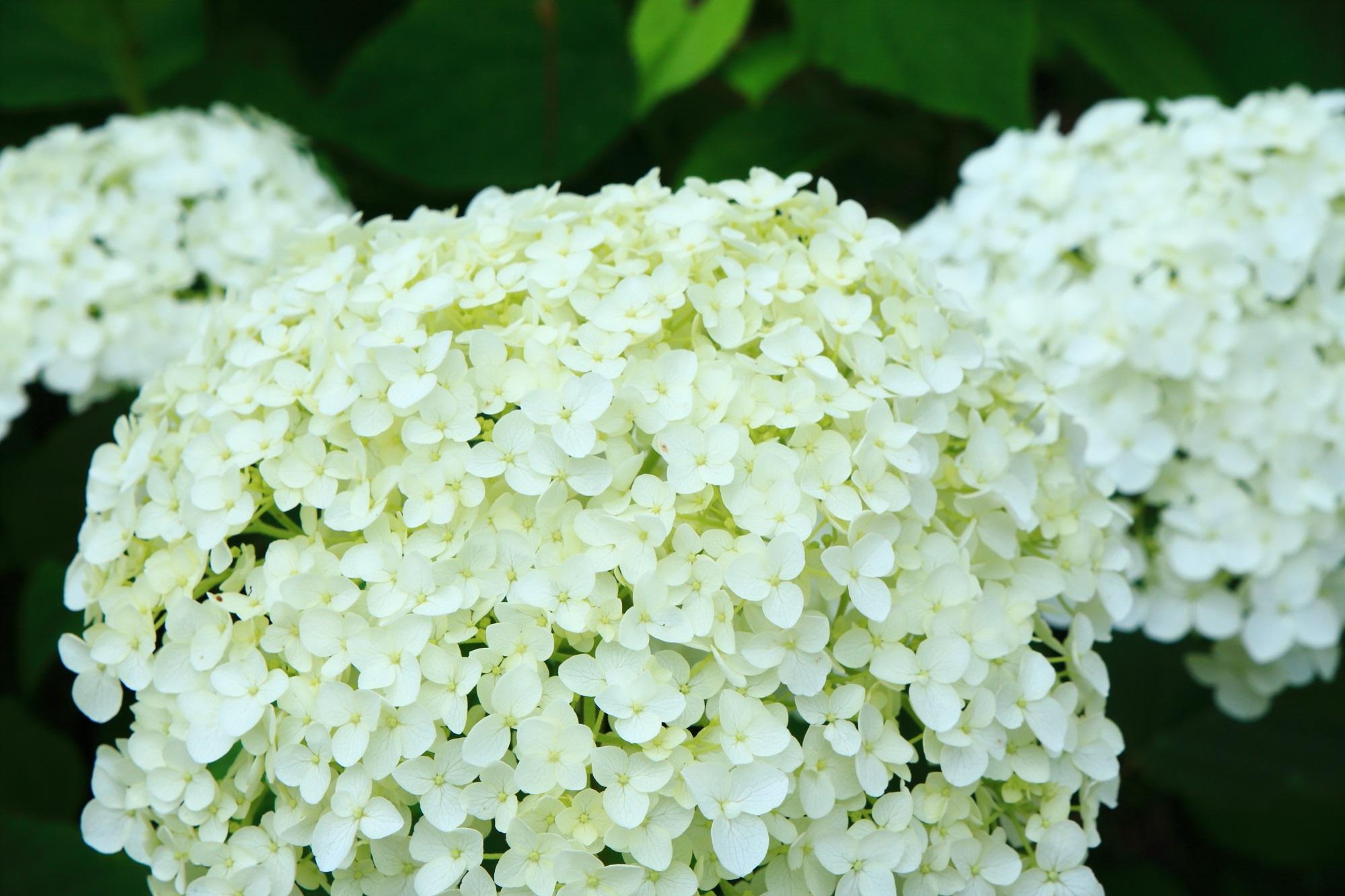 舞鶴自然文化園の爽やかで華やかな白い紫陽花