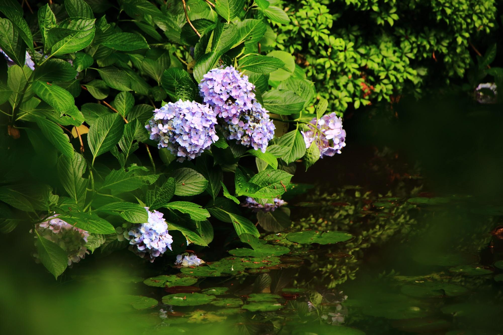 岩船寺の阿字池に咲く紫陽花
