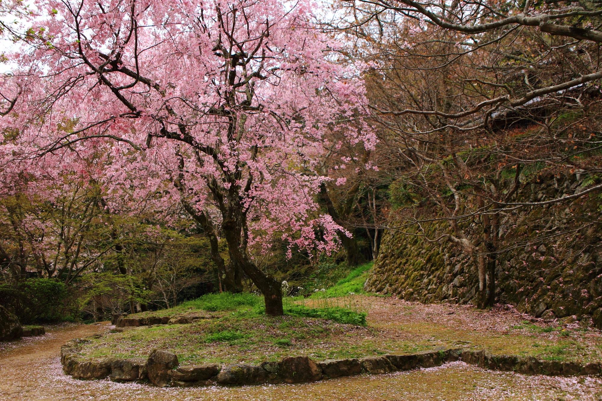 桜ヶ丘の満開のしだれ桜