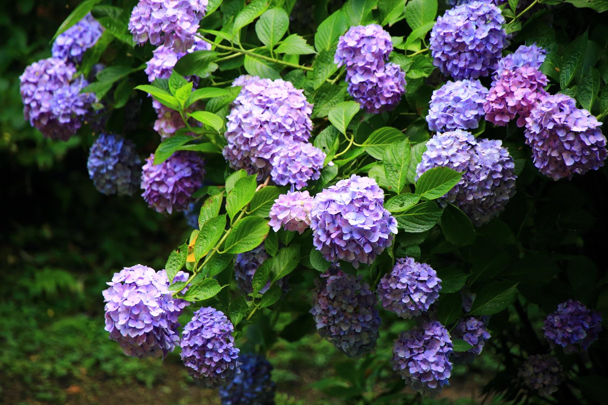 溢れんばかりに咲き誇る岩船寺の大きな紫陽花