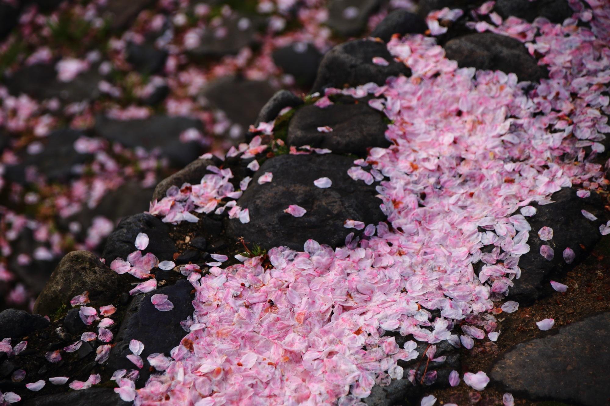 美しすぎる散ったピンクの花びら