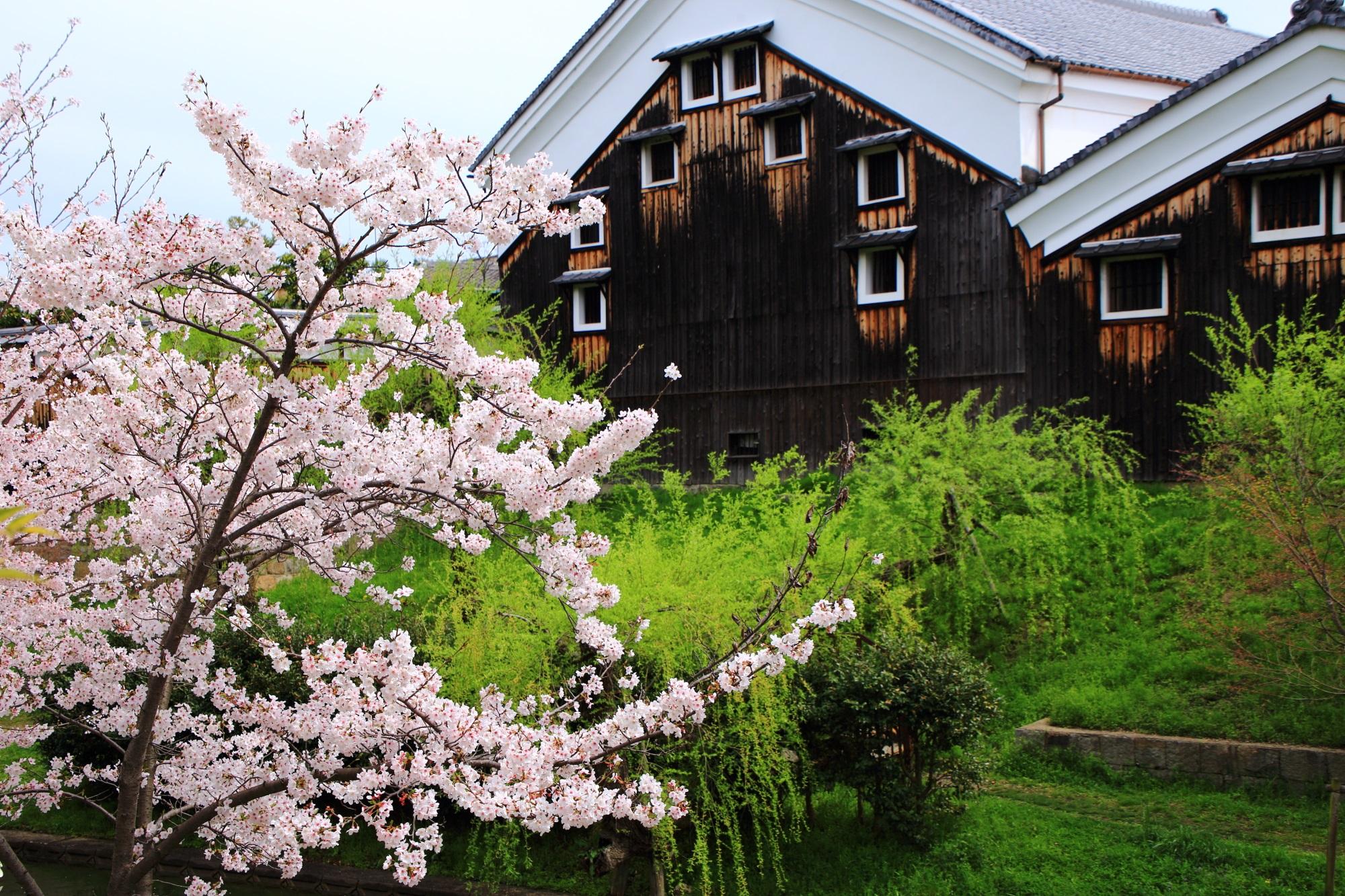 月桂冠大倉記念館と桜