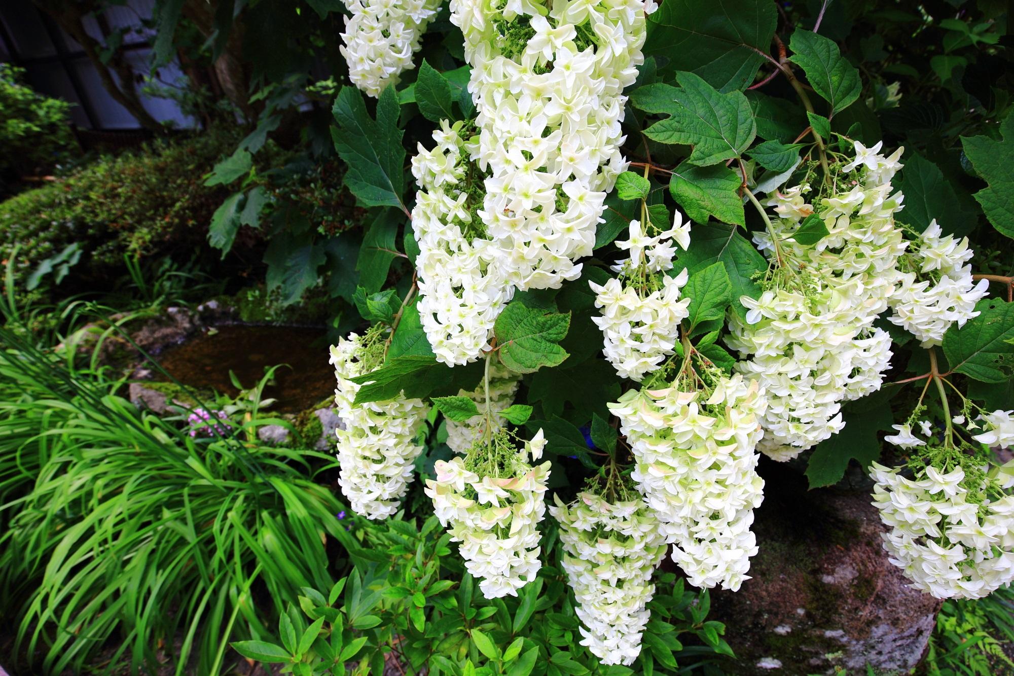 本堂近くで見ごろをむかえる白い柏葉紫陽花(カシワバアジサイ)