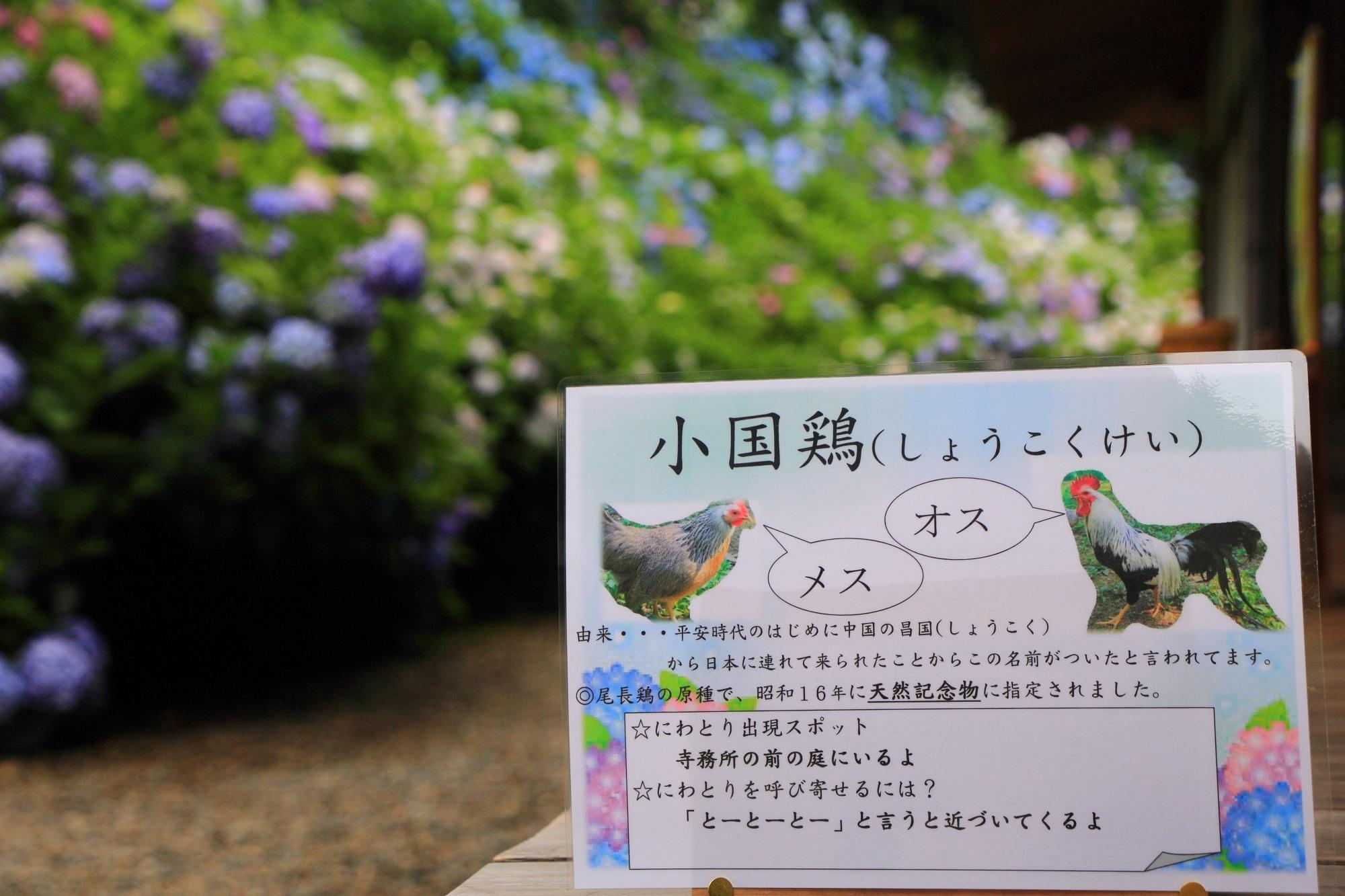 丹州観音寺の放し飼いにされている天然記念物の小国鶏(しょうこくけい)という鶏