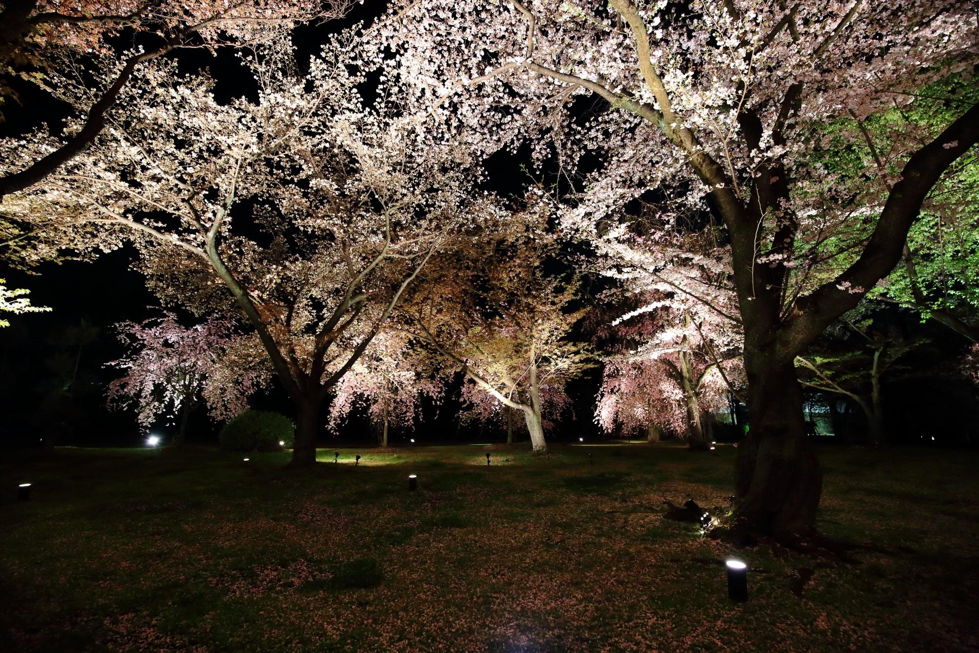 元離宮二条城の闇夜を彩る華やかな桜