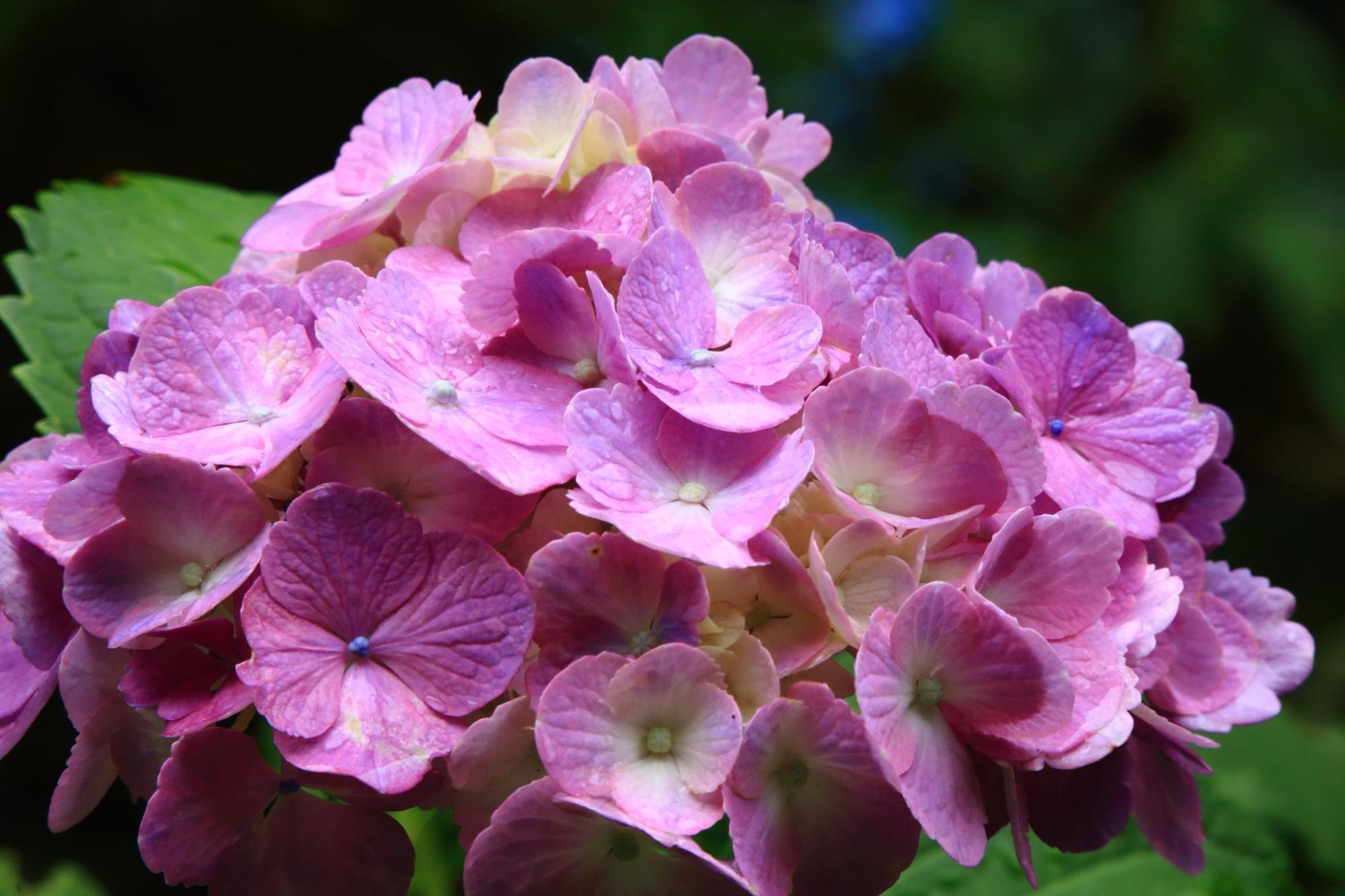鮮やかとも華やかとも言えそうな色合いのピンクの紫陽花