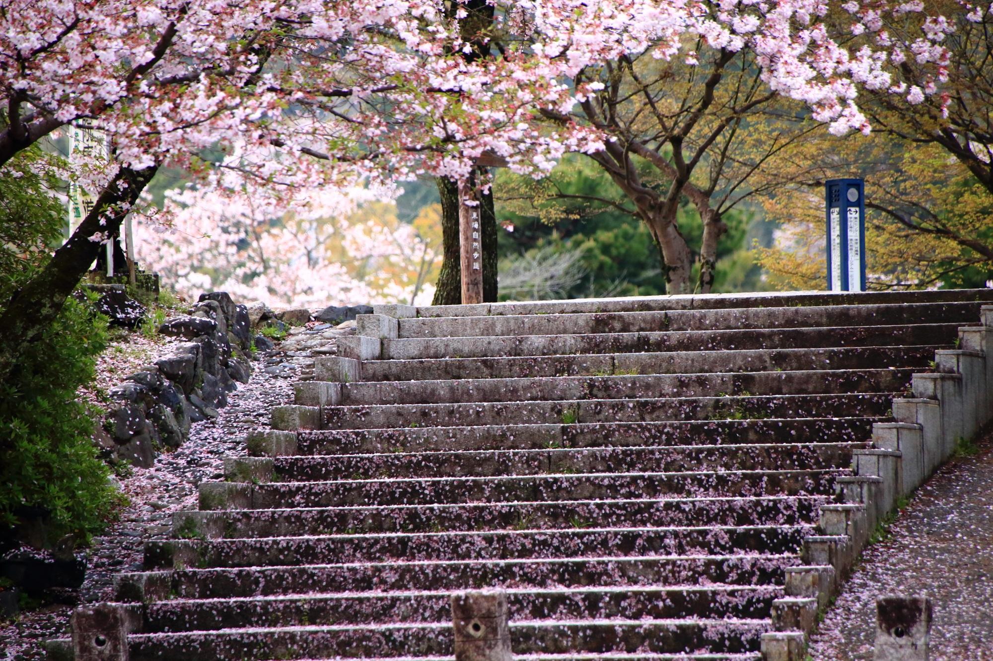 だいぶ散るもその散り桜が綺麗な宇治川
