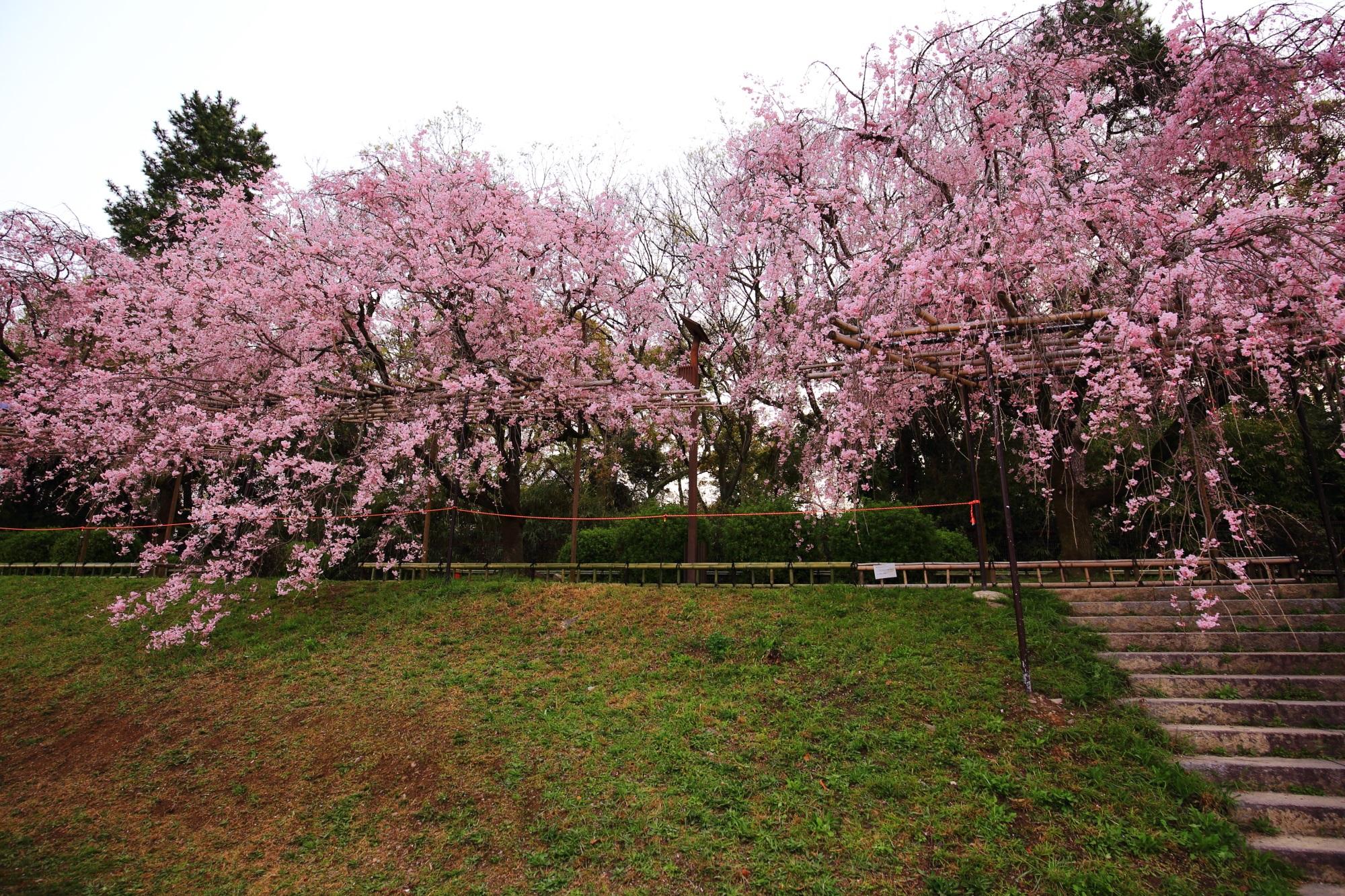 半木の道の豪快に咲き誇るしだれ桜
